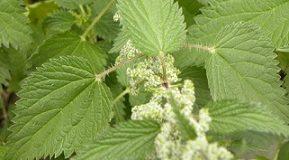 List kopřivy vám může pomoci s nepříjemnými příznaky alergie.